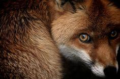 Un renard roux et son regard désarmant