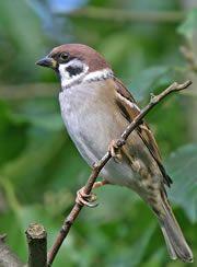 Tree sparrow on twig