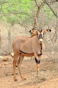 The Fringe Eared Oryx, (Oryx beisa callotis) pictured here, is one of two subspecies of the East African Oryx. It lives in Southern Kenya and  parts of Tanzania. The East African oryx is classified as Near Threatened by the IUCN (International Union for the Conservation of Nature).