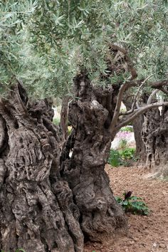 """""""Mount of Olives"""" - Garden of Gethsemane, Jerusalem.  """"Then Jesus came with them to a place called Gethsemane, and said to the disciples, """"Sit here while I go and pray over there."""" - Matthew 26, 37"""