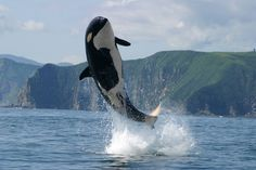 Breaching juvenile orca Not necessarily from the San Juans, but definitely adorable...