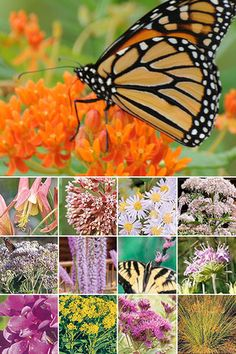 Helping out Monarchs and other pollinators doesn't get easier. Plants and a planting guide. Plans/plants for different sized gardens.