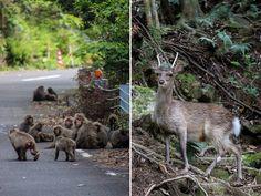 Animals in the UNESCO World Heritage Zone, Yakushima, Japan