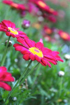 Madeira Deep Rose marguerite daisy