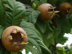 naspolya Herbs, Gardening, Fruit, Essential Oils, Food, Lawn And Garden, Essen, Herb, Meals