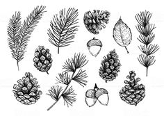 Find Hand Drawn Vector Illustrations Forest Autumn stock images in HD and millions of other royalty-free stock photos, illustrations and vectors in the Shutterstock collection. Pinecone Tattoo, Acorn Tattoo, Pine Tattoo, Pine Cone Drawing, Leaf Drawing, Acorn Drawing, Fall Leaves Drawing, Illustration Botanique, Botanical Illustration