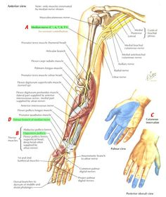 MEDIAN nerve courses btwn the flexor digitorum profundi and superficialis before entering carpal tunnel (in the hand it innervates the thenar muscles--recurrent branch is in the palm) Ulnar Nerve Entrapment, Peripheral Nerve, Muscle Anatomy, Body Anatomy, Upper Limb Anatomy, Axillary Nerve, Nervous System Anatomy, Nerve Anatomy, Ear Reflexology