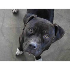 Petfinder Adoptable | Dog | Pit Bull Terrier | Van Nuys, CA | WILLY ❤ liked on Polyvore featuring animals