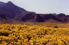 El Paso, TX Where I was born Poppies by the Franklin Mountains