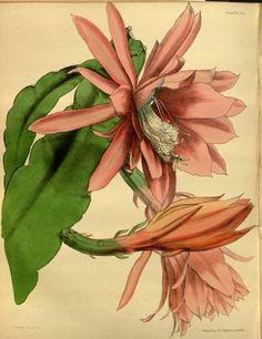 https://upload.wikimedia.org/wikipedia/commons/c/ca/Epiphyllum_sp_x_Cereus_sp_Paxton_062.jpg