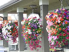hanging basket using cone hanger...how to plant your baskets!