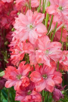 100 Seeds A Pack Rocket larkspur seed Consolida Ajacis Delphinium Flowers potted bonsai DIY home garden Amazing Flowers, Colorful Flowers, Pink Flowers, Beautiful Flowers, Delphinium Flowers, Delphiniums, Larkspur Flower, Larkspur Tattoo, Flower Names