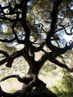 Quercus agrifolia, California Coast Live Oak silhouette.
