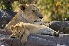 Circle of life: Lions spend up to 21 hours a day resting with the other animals in their pride
