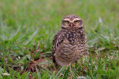 A Burrowing Owl (Coruja-Buraqueira) gives the stare-down.  Brasilia, Brazil, South America.