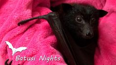 Batusi Nights Trailer - Dances with Bats