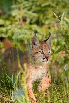 Siberian lynx kitten.  © Arno Enzerink / www.stockphotogra... All rights reserved.