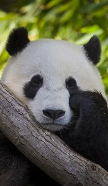look at the beautitiful panda no doubt these animlas are gorgous