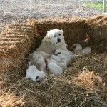 Daisy with puppies. Great Pyrenees are wonderful guardian dogs.