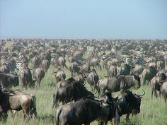 #Gnous #Serengeti