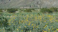 De anza borrego springs desert flowers desert flowers pinterest coyote canyon borrego springs 2017 mightylinksfo