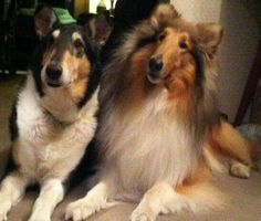 Smooth tri-color and rough Sable collies