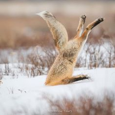 Red Fox pouncing into the snow to catch a mouse. Grand Teton National Park. •Brad Schwarm Photography• #Wildlife #Photography #Wyoming #Fox
