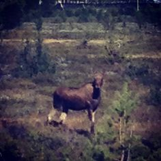 "@juliopreciado's photo: ""Ikke akkurat Albin men.. #moose #Dovre #Norway #nature #animal"""