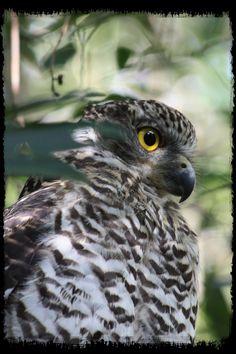 Beautiful profile of Powerful Owl (Ninox strenua)
