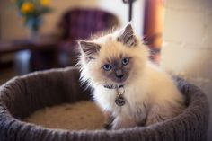 Rag doll Kitten. They are so fluffy. I love them ♥