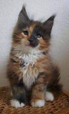 Meet MezzoMixx, a Very Unusual Male Tortie – The Conscious Cat - Katzenrassen Beautiful Cats Cute Kittens, Ragdoll Kittens, Bengal Cats, Most Beautiful Animals, Beautiful Cats, Photo Chat, Cat Aesthetic, Aesthetic Videos, Tier Fotos