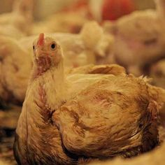 The Truth About Chicken Please take part in the emails to local store managers about humanely raised chickens.  Thanks.