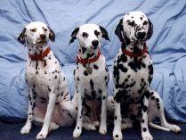 Perros de raza dálmata