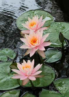 ✯ Three pretty pink Colorado Water Lilies in Vero Beach, Florida