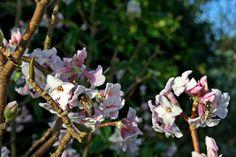 #Bees on #Daphne in my #Garden  December 2015 https://uk.pinterest.com/annbri/