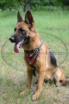 Extraordinary #German #Shepherd #Dog #Harness