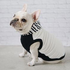 French Bulldog wearing a Striped Hoodie