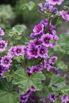 Purple hollyhocks Eva's garden Christine Chitnis ; Gardenista