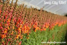 Happy Thursday! What's your favorite color of Snapdragons? We grow them in all sorts of colors and know kids love to play with them. #flowers #snaps #snapdragons #nature #garden