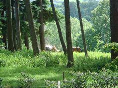 Near Powerscourt, Ireland, horses in the glen