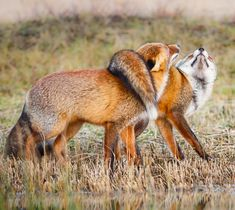Red Foxes by Pim Leijen