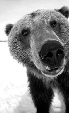 Curious Grizzly Bear!