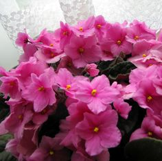 african violets to brighten up a grey Canadian afternoon