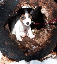 Jack Russell Terrier: