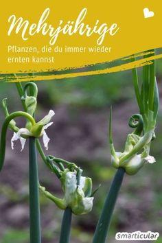 spinnenblume cleome spinosa einj hrige pflanze und. Black Bedroom Furniture Sets. Home Design Ideas
