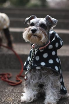 Miniature Schnauzer! Need to get my dog this outfit!!