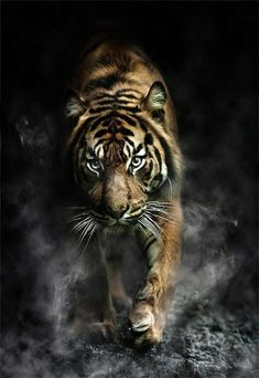 The Tiger looks