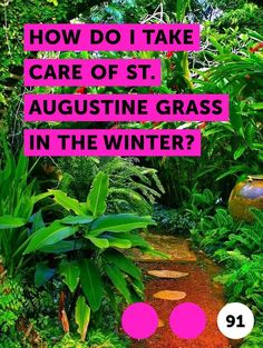 How Do I Take Care of St. Augustine Grass in the Winter?. St. Augustine grass, scientifically known as stenotaphrum secundatum, is a popular, warm-weather grass. Found in California and the southeastern coastal line of the United States, the hardy St. Augustine grass provides a rich green color and thick coverage. Designed for warm weather, winter...