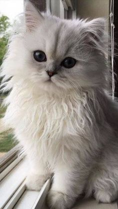 Persian kittens funny So innocent face ! Cute Kittens, Beautiful Kittens, Pretty Cats, Animals Beautiful, Cats And Kittens, Persian Kittens, Crazy Cat Lady, Crazy Cats, I Love Cats