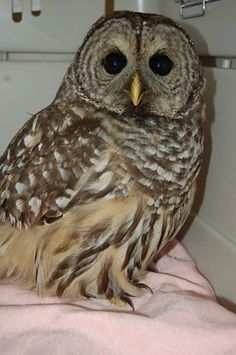As the days continue to get shorter, we're seeing many raptors like this beautiful Barred Owl admitted at BC SPCA Wild Animal Rehabilitation Centre (Wild ARC). Preying chiefly on small rodents, these owls are often attracted to roadsides when hunting for dinner, putting them at greater risk of being hit by cars. As the weather gets stormier, please drive carefully - helping to keep everyone a little safer!